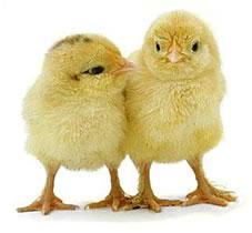 chickens3.jpg