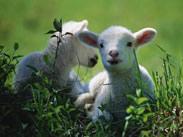 sheep1.jpg